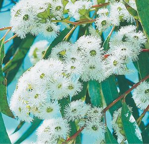 Snow-Gum-300x290_optimised